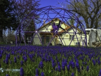 Purple Flowers-Purtlpe Dome 2