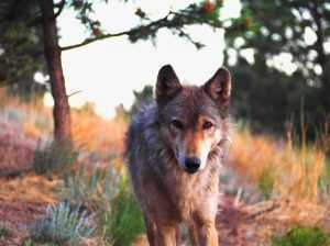 Mission: Wolf rescued resident wolf